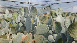200513 알로에 농사일기 - 아보레센스, 대경 선인…