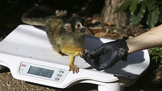 Dont be shy! Animals lured onto scales for annual weigh-in at London Zoo