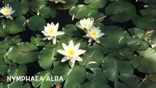 Nymphaea alba Garden Center online Costa Brava - Girona.(Nymphaea alba Garden Center online Costa Brava - Girona. Web: http://personalgardenshopper.es/, 2015-07-18T14:36:31.000Z)