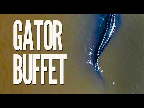 Watch a gator buffet: It's heaven on earth for the big reptiles