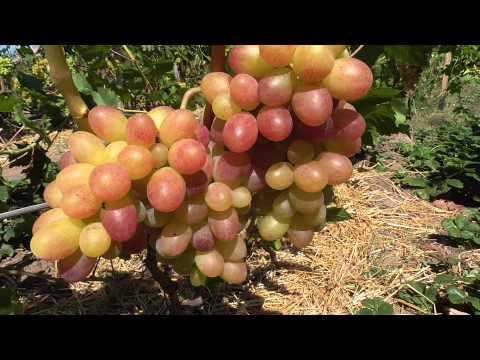 Виноград ТАСОН. Столовый сорт винограда очень раннего срока созревания.