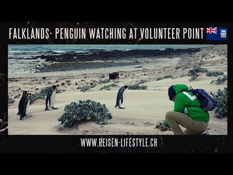 Watch the funy Penguins at Volenteer Point, Falklands - reisen-lifestyle.ch