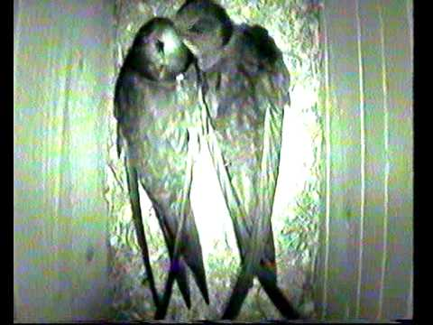 TORNSEGLARE Common swift. Mauersegler (apus apus) Film 1  av Thomas Hasselberg ( thasselberg.se )