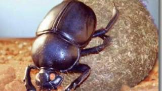dung beetle song