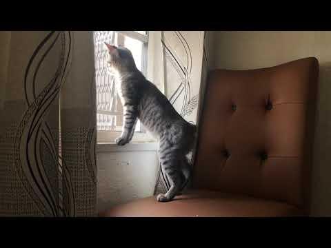 manx cat enjoys cat tv