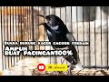 Suara Burung Kacer Gacorr Terbaik Burung Kacer Gacor Masteran Suara Istimewa Burung Kacer Gacorr  Mp3 - Mp4 Download