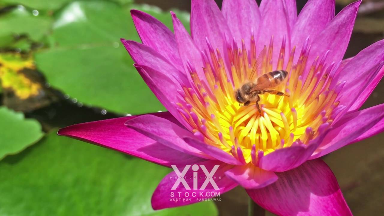 Bees Collect Some Pollen On Lotus Flower Bee With Water Lily