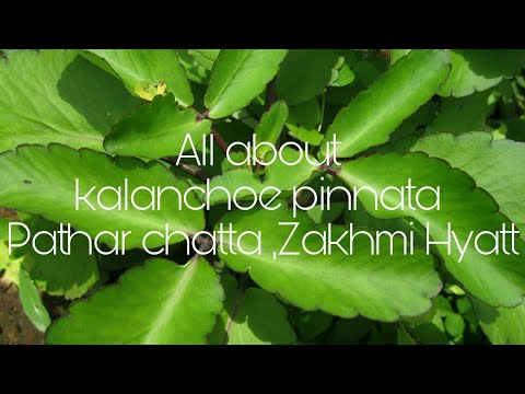 all about kalanchoe pinnata patharchatta Zakhmi Hyatt