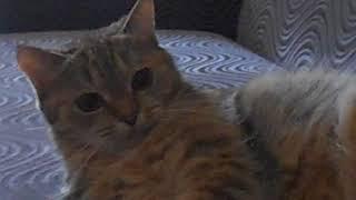 Кошка Ромашка. Барыня обиделась)