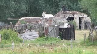 Koza Domowa
