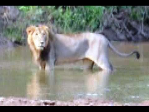 The only Rare Asiatic lions left on Earth which roam freely in a Gir forest in India.