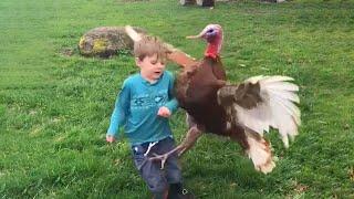 Funny Videos Animals  Funniest Turkey Compilation  Best Thanksgiving