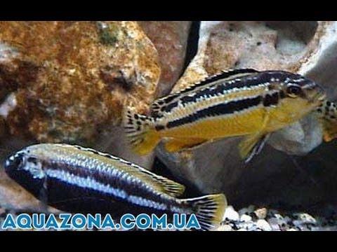 Меланохромис ауратус - хищные рыбы для аквариума купить