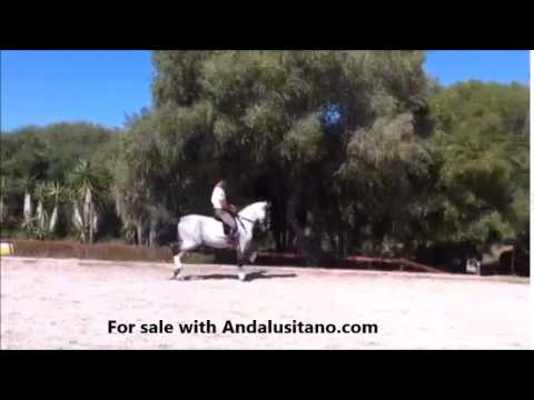 Prix. St. George PRE stallion 10 years old