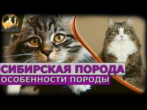 Сибирская порода - особенности породы