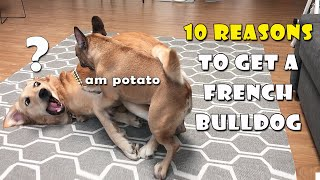 10 Reasons To Get A French Bulldog | FUNNY ENDING