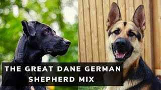 The Great Dane German Shepherd Mix (Ultimate Guide)