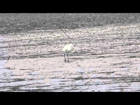Chinese egret, 唐白鷺