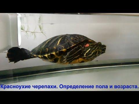 Красноухие черепахи. Определение пола и возраста.