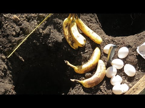 Using Whole Eggs and Bananas as Organic Fertilizer for Tomato Plants: Using Compost Holes