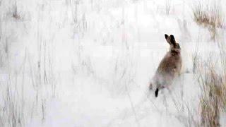 ☝▶Это нужно видеть! ОХОТА! Выпинывание ЗАЙЦА из норы. ЗИМНЯЯ ОХОТА НА ЗАЙЦА. Тропим зайца ИЖ-12 Hare