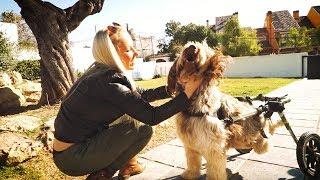 perro-en-silla-de-ruedas-se-vuelve-loco-cuando-reconoce-a-la-chica-que-le-cuid-let-s-adopt-espaa