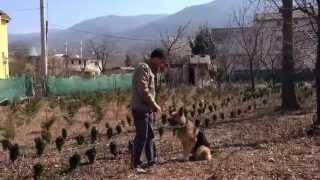 Zeyna Eğitim ( Köpek eğitimi - Temel - İleri İtaat Eğitimi )