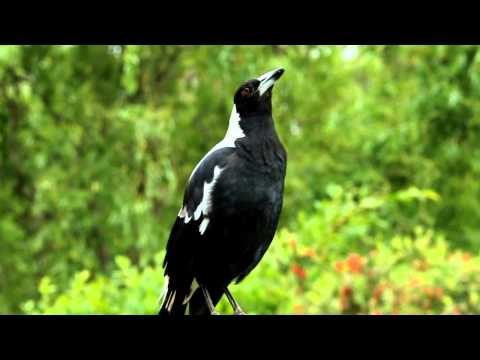 Australian magpie singing on YouTube