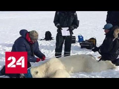 Вопрос: Как справиться с медведями на Новой Земле по мнению экологов?