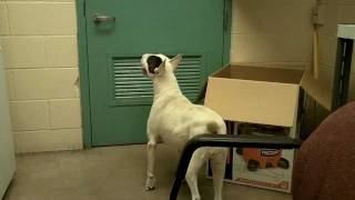 Bull Terrier Rescue Run