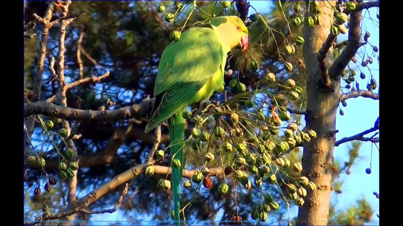 Les perruches du jardin des plantes parakeets youtube - Jardin des plantes aix les bains ...