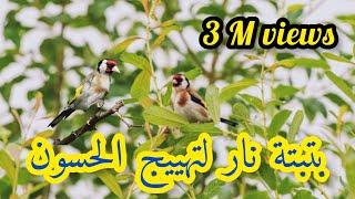 Gambar cover أحسن بتبته للحسون لتحفيز الطيور على التغريد/chant d'appel de chardonnerets