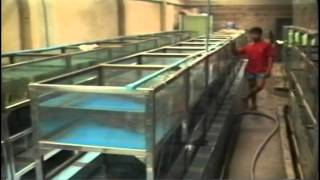 Discus Farms in Asia Part 4 - Ozfishforsale.com.au reference series