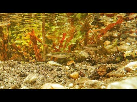 Zebra Danio In Natural Habitat ( Wild Zebra Fish )