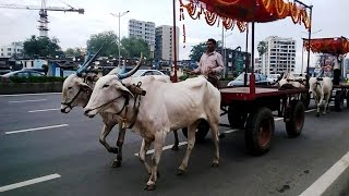 Bullock Carts On Western Express Highway Andheri East Mumbai India 2014 [HD VIDEO]