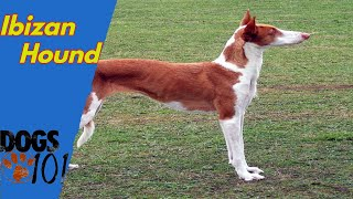 Dog 101 Ibizan Hound