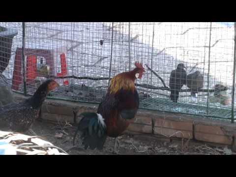 gà rừng của triviet