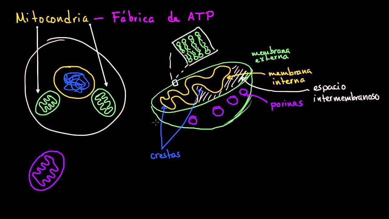 Mitocondria La Estructura De Una Célula Biología Khan Academy En Español