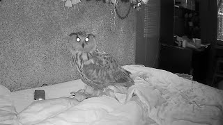 How to sleep with an owl? Fun! The Eagle owl Yoll is having a fun night