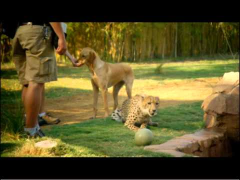 Baby Cheetah & Puppy Celebrate 1st Year | Busch Gardens Tampa Bay