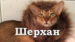 Шерхан - абиссинский котёнок с питомника Nefertee. Дети и кошки