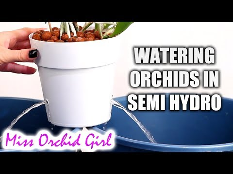 How to water Orchids in semi hydroponics + Detailed explanations