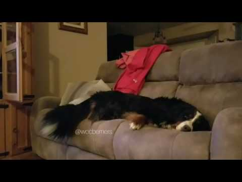 Bernese Mountain Dog Waves With Tail