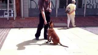 Belgian Shepherd Lupa, Obedience Training, Dog Training