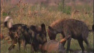 動物の生命:戦争の捕食者 - ライオン、ハイエナ、野生の犬 動物の生命...