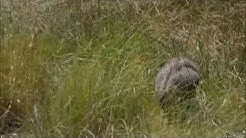 Javelina Sighting In Arivaca, Arizona