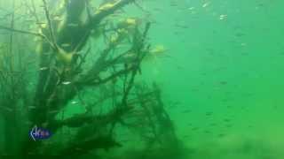 Fairy tales of underwater forests: granite quarry - Александровский карьер: сказки подводного леса