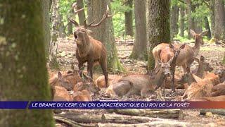 Yvelines | Le brame du cerf, un cri caractéristique du roi de la forêt