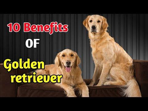 10 Benefits Of Golden Retriever / In Hindi / Benefits of golden retriever