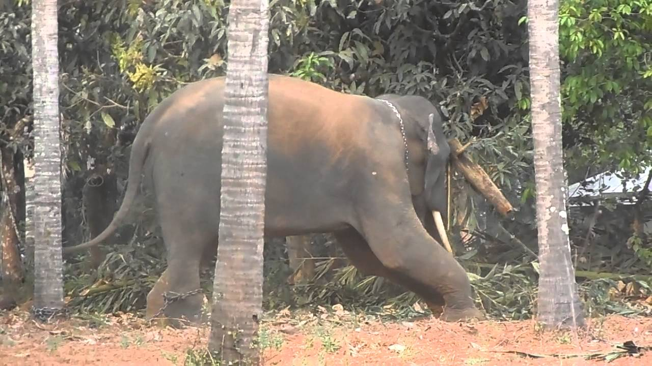 kerala elephant playing 2014@mookkutha - YouTube